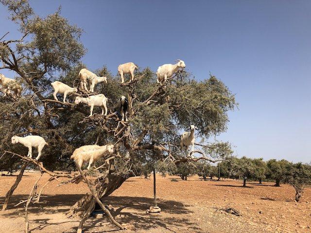 Cabras en arbol en Marruecos
